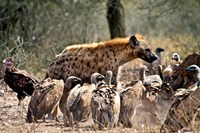 Spotted hyenas and vultures scavenging on a carcass in Kruger National Park, South Africa Fine Art Print