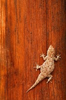 Tokay Gecko lizard, Striated Wood, Africa Fine Art Print