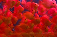 Swarms of gold fish, Shanghai, China Fine Art Print