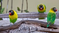 Tanzania. Yellow-collared Lovebirds, Tarangire NP by Ralph H. Bendjebar - various sizes, FulcrumGallery.com brand