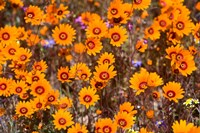 Orange Spring flowers, Namaqualand, South Africa by Ralph H. Bendjebar - various sizes