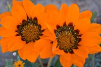 Two orange Spring flowers, South Africa Fine Art Print