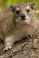 Tanzania, Serengeti NP, Hyrax wildlife by Joe & Mary Ann McDonald - various sizes, FulcrumGallery.com brand