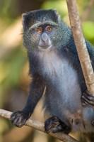 Tanzania. Blue Monkey, Manyara NP by Ralph H. Bendjebar - various sizes, FulcrumGallery.com brand