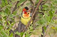 Tanzania. Red and Yellow Barbet, Tarangire NP by Ralph H. Bendjebar - various sizes, FulcrumGallery.com brand