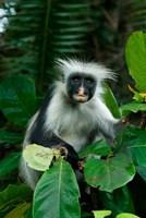 Tanzania: Zanzibar, Jozani NP, red colobus monkey Fine Art Print