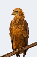 Tawny Eagle on branch above the Maasai Mara Kenya Fine Art Print