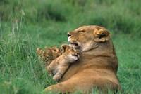 Tanzania, Ngorongoro Crater. African lion family Fine Art Print
