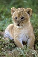 Tanzania, Serengeti National Park, African lion Fine Art Print