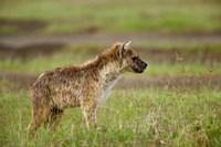 Spotted Hyanea, Lake Nakuru National Park, Kenya by Adam Jones - various sizes