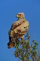 Tawny Eagle, Aquila rapax, Masai Mara Game Reserve, Kenya by Adam Jones - various sizes