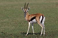 Thomson's Gazelle antelope, Maasai Mara, Kenya Fine Art Print
