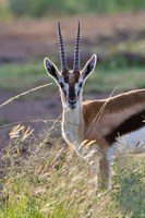 Thomson's Gazelle on the savannah, Maasai Mara National Reserve, Kenya by Keren Su - various sizes