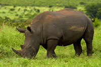 Southern white rhinoceros, Kruger National Park, South Africa by David Wall - various sizes, FulcrumGallery.com brand
