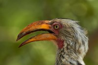 Southern Yellow-billed Hornbill, Kruger National Park, South Africa by David Wall - various sizes, FulcrumGallery.com brand