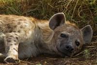 Spotted Jackal resting, Maasai Mara National Reserve, Kenya. Fine Art Print