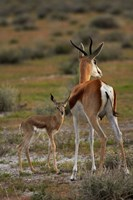 Springbok fawn and mother, Etosha NP, Namibia, Africa. by David Wall - various sizes