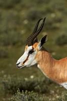 Springbok, Antidorcas marsupialis, Etosha NP, Namibia, Africa. by David Wall - various sizes
