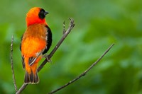 Southern red bishop, Serengeti National Park, Tanzania by Art Wolfe - various sizes, FulcrumGallery.com brand