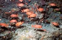 Squirrel Fish, Astove Island, Seychelles, Africa by Pete Oxford - various sizes