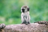 Tanzania, Ngorogoro Crate, Wild vervet monkey baby Fine Art Print