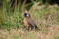 Speckled Mousebird, Aberdare Country Club, Nyeri, Kenya by Adam Jones - various sizes