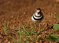 Threebanded Plover, Mkuze Game Reserve, South Africa Fine Art Print