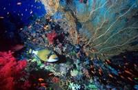 Titan Triggerfish, Red Sea, Egypt Fine Art Print