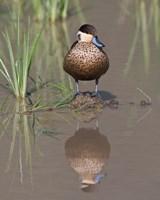 Hottentot Teal duck wading, Tanzania by Ralph H. Bendjebar - various sizes