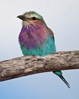 Tanzania, Lilac-Breasted Roller bird, Ndutu by Ralph H. Bendjebar - various sizes