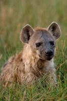 Spotted Hyena, Mombo Area, Chief's Island, Okavango Delta, Botswana Fine Art Print