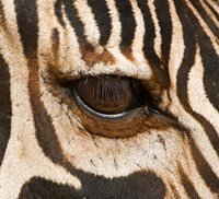 Tanzania, Tarangire National Park, Common zebra eye Fine Art Print