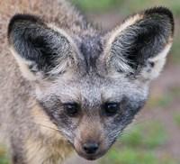 Head of Bat-Eared Fox, Ngorongoro Conservation by Ralph H. Bendjebar - various sizes