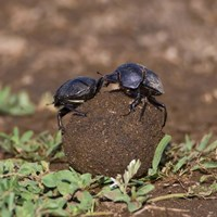 Tanzania, Ndutu, Ngorongoro, Dung Beetle insects Fine Art Print