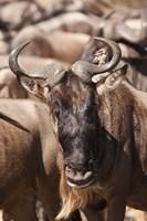 White-bearded Wildebeest, Masai Mara Game Reserve, Kenya by Joe & Mary Ann McDonald - various sizes