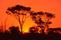 Trees Silhouetted by Dramatic Sunset, South Africa Fine Art Print