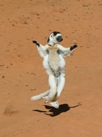 Verreauxs Sifaka, primate, Madagascar by Kevin Schafer - various sizes