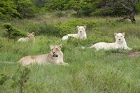 Unique pride of cream colored African lions, South Africa by Cindy Miller Hopkins - various sizes