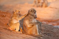 Two grooming baboons, Senyati Safari Camp, Botswana by Jaynes Gallery - various sizes