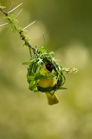 Vitelline Masked Weaver, Samburu NP, Kenya by Joe & Mary Ann McDonald - various sizes