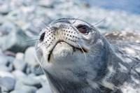 Weddell Seal Resting, Western Antarctic Peninsula, Antarctica by Steve Kazlowski - various sizes