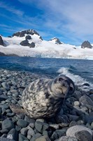 Weddell seal, beach, Western Antarctic Peninsula Fine Art Print