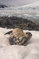 Weddell seal resting, western Antarctic Peninsula by Steve Kazlowski - various sizes