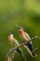 Pair of Whitefronted Bee-eater tropical birds, South Africa Fine Art Print