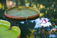 Victoria amazonica water lily flower, Mauritius by Stuart Westmorland - various sizes