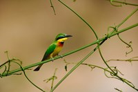 Tropical Bird, Little Bee Eater, Masai Mara GR, Kenya Fine Art Print