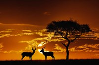 Umbrella Thorn Acacia and Impala, Masai Mara Game Reserve, Kenya Fine Art Print