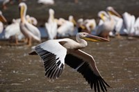 White Pelican birds in flight, Lake Nakuru, Kenya Fine Art Print