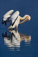 White Pelican bird, Lake Nakuru National Park, Kenya Fine Art Print