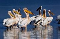 Group of White Pelican birds in the water, Lake Nakuru, Kenya Fine Art Print